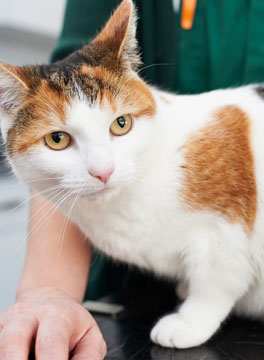 Ginger and white cat with vet